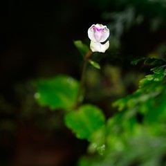 DisperisFH2_9300 20130914 1052 oppositifolia (evideerf2002) Tags: nature reunion de la ile terrestre wildorchid oppositifolia orchidéesauvage disperis