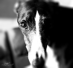 WILLIOW B&W ART (Pet House Photography by Angela Pardue) Tags: dog pet pets cute dogs animal nikon adorable whippet d300 petphotography