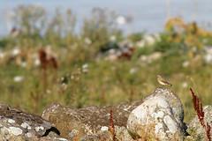 Northern Wheatear - Oenanthe oenanthe - Stenskvtta (DominoDude) Tags: summer birds canon skne sweden stones 7d sverige scania barsebck oenantheoenanthe northernwheatear stenskvtta canoneos7d canon7d