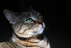 Natural Beauty (jodispayne.....Mostly off :() Tags: pet sunlight animal cat nikon feline tabby greeneyes explore dslr tasha bengalmix nikond80