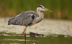 Grey Heron - if you get close you have to take a few images!