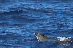Flickr: Common Bottlenose Dolphin - Madeira, Portugal