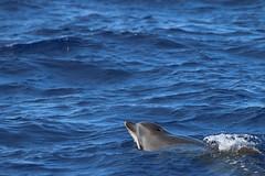 genus: Tursiops. Common Bottlenose Dolphin - Madeira, Portugal