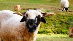 Walliser Schwarznasenschaf (HeiAld) Tags: animal schweiz switzerland sheep suisse swiss sony zermatt wallis alder valais schaf nex heini