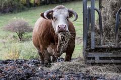 monday monday (the-father) Tags: germany bavaria bull oberpfalz weiden edeldorf upperpalatinate blinkagain bestofblinkwinners blinksuperstars