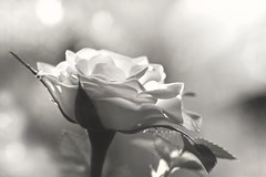308 of 365 White Rose [Explored] (linlaw39) Tags: bw stilllife white rose closeup mono scotland blackwhite aberdeenshire bokeh explore 365 105mm lindal aperturepriority day308 explored 2013 365project canoneos700d 105primelens day308365 insidework 105mmprimelens 3652013 2013yip 365the2013edition 04112013 4thnov13