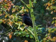 Romberg Park Blackbird (Amsel) (IanHartS) Tags: trees bird fall nature leaves germany deutschland herbst parks blackbird dortmund amsel rombergpark