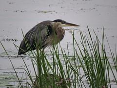 Heron Piling 09 (Cathy Contant) Tags: lake bird heron bay greatlakes lakeontario wate sodus sodusbay soduspoint