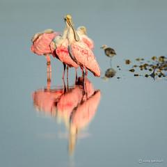 Stacked (craig goettsch) Tags: bird nature nikon florida wildlife ngc sanibelisland roseatespoonbill d600 dingdarlingnationalwildliferefuge simplysuperb nikkor600mmf40