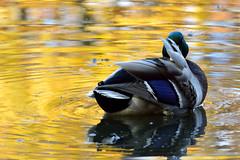 Phantom of the Opera (ozVADERzo) Tags: bird nature water duck nikon mallard 70300mm tamron biology goldenpond