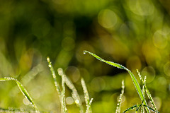 The earth's tears (annfrau) Tags: morning light verde green droplets bokeh dew rugiada luce mattino gocce canoneos600d sigmaapodg70300macro
