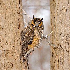 Long-eared Owl (Hanzy2012) Tags: nikon d90 80200mmf28dafs tc17eii teleconverter tommythompsonpark lesliestreetspit boxingday 2013 bird wildlife owl asiootus longearedowl nature wild