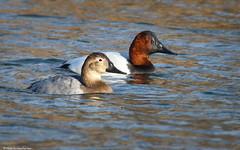 Canvasbacks (Mike Schanbacher) Tags: usa ma duck capecod falmouth canvasback aythyavalisineria
