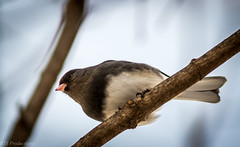 Beautiful Junco (Rick Smotherman) Tags: wood morning trees stpeters tree bird nature birds canon garden outdoors morninglight backyard wildlife january overcast 7d juncos songbirds canon300mmf4l canon7d canon14teleconverter