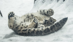 Snowy Snow Leopards 17 (Jan Crites) Tags: winter snow nature animals zoo illinois nikon snowy leopard brookfield snowing february everest snowleopard brookfieldzoo d600 sarani