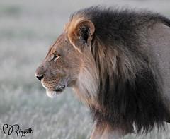 """Lion """"Black-maned Profile"""" (girlslens) Tags: africa lion botswana kalahari"""