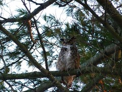 Great Horned Owl (Thickson's Woods) (praja38) Tags: life wood trees winter sunset wild canada cold tree male bird nature wings woods branch wildlife great wing beak feathers feather canadian whitby ear owl perch trunk wilderness wintertime roosting hunt birdofprey greathornedowl roost capricorn horned talons tailfeathers perching thicksonswoods