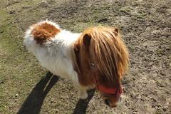Shetland miniture pony #2 (Moldovia) Tags: horse animal pony pointandshoot pointshoot shetlandpony fujifilmfinepixhs50exr