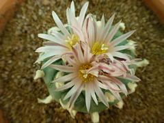 Lophophora williamsii hugsaone (madoldgasteriaman) Tags: lophophora williamsii