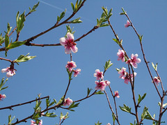 Peach Blossoms 9 (jeanette.horvath //Jeanne//) Tags: flowers trees flower tree garden spring blossom blossoms peach bloom flowering blossoming blooms blooming
