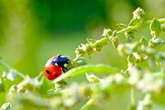Coccinelle (Max Sat) Tags: closeup coccinelle colorful couleurs france fuji fujixe1 grosplan hautemarne ladybug macro maxsat maxwellsaturnin orange printemps vert xe1 xf60 xpro1 unexplored