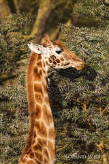Lake Nakuru - Giraffe (Rolandito.) Tags: africa park lake kenya safari national giraffes afrika giraffe kenia nakuru