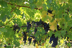 Pinot Noir (Adam Dimech) Tags: vineyard vines farm vine australia victoria yarravalley grapes agriculture grape grapevine pinotnoir coldstream murrummongvineyard murrummong