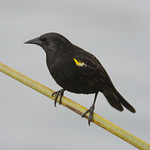 Trile (Agelasticus thilius) Yellow-winged blackbird thumbnail