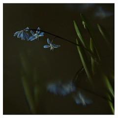 Scilla (me*voilà) Tags: scilla flower blue onblack spring