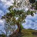 Altun Ha Allspice Tree