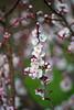 Pretty Plum Blossoms (aeschylus18917) Tags: danielruyle aeschylus18917 danruyle druyle ダニエルルール japan 日 yamaguchi 山口県 flower 花 blossoms spring 春 tree 80400mm plum prunusmume pxt