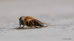 Eristalis-Schwebfliege (Oerliuschi) Tags: insekt fluginsekt natur schwebfliege syrphidae stehfliegen schwirrfliegen hautflügler fliegen