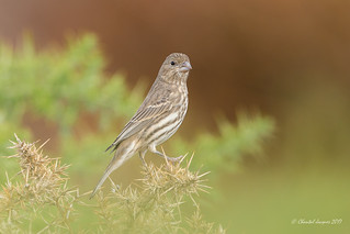 House Finch on its high heels
