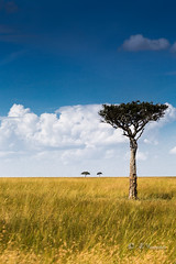 Africa Trees (Ali Yamaner) Tags: africa trees african savanna keny masai mara sky clouds outside