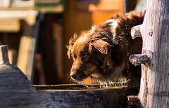 Australian Shepherd (Soul_Sammy) Tags: hund hunde dog dogs aussie australian shepherd hütehund tri tricolor redtri red herding sam brunnen wasser water