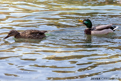 But... Quack! (The Whisperer of the Shadows) Tags: duck pato animal water agua mallard anade canon70200f4l wildlife waves ondas geotagged