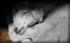 BIEN COMÍO Y BIEN DORMÍO....... (ROGE gonzalez ALIAGA) Tags: animales oveja nikond5000 tranquilidad blancoynegro