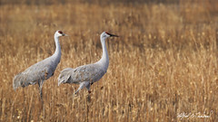 Sandhill Cranes_20A8020 (Alfred J. Lockwood Photography) Tags: alfredjlockwood nature wildlife bird crane sandhillcrane field autumn bosque bosquedelapachewildliferefuge newmexico morning