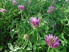 Trifolium medium - Zickzack-Klee , NGIDn1709565266