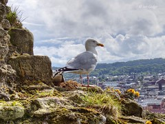 Castle Gull v2 (explored) (Ian Gedge - Thanks for 1 Million views) Tags: england english uk britain british yorkshire northyorkshire scarborough castle coast seaside bird gull seagull