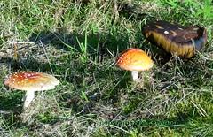 Mushroom v toadstool (sms88aec) Tags: mushroom v toadstool