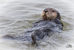 "Sea Otter - ""in explore"" (Selkii's Photos) Tags: california enhydralutris montereybay mosslanding otter seaotter unitedstates water us"