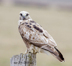 rough legged hawk (Pattys-photos) Tags: rough legged hawk pattypickett4748gmailcom pattypickett