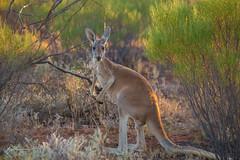 Western Red Kangaroo (R. Francis) Tags: macropusrufus westernredkangaroo ryanfrancis brokenhill newsouthwales