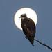 Eaglet in the Moonlight