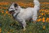 Poppies (14) (Feddal Nora) Tags: poppyreserve poppyreservenorafeddalcalifornia flower dog witch sorciere chien poppies coquelicot purple orange poppy antelope valley california reserve antelopevalleycaliforniapoppyreserve purplelacyphacelia canon