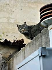 (Monic@*) Tags: cat occhi verdi gatto tetti