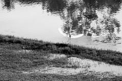 Pampulha (Johnny Photofucker) Tags: pampulha garça ave bird uccello passero pássaro black white branco preto pb bw belohorizonte bh minasgerais lagoa lightroom bicho animal animale