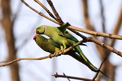 Can you feel my heart ?? (rick_toor) Tags: trees outdoor birder birding birds indian asia punjab india chandigarh wildlifephotography wildlife naturephotography nature mating love pair colors green parrot parakeet roseringedparakeet canoneos6d canon flickr