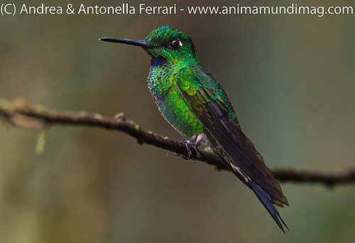 Green-crowned Brilliant male